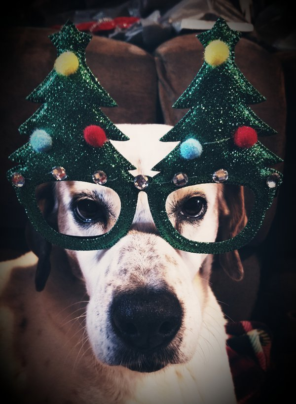Dodie the dog and her fabulous Christmas spectacles thumbnail