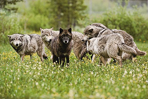 Wolves come in gray, white and, in North America, black