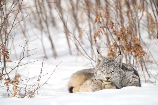 Wild Canada Lynx sleeping in Ontario, Canada. thumbnail