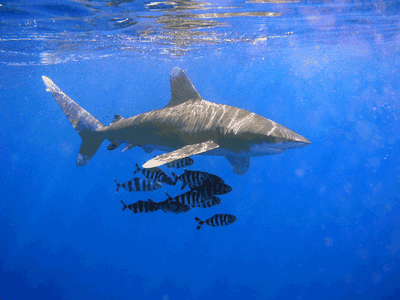 An oceanic whitetip shark swimming in the open ocean. This species was common in the 1970s but its population has since declined by 98 percent, according to a new study.