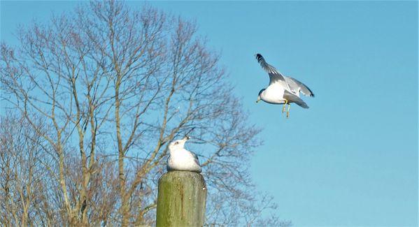 Seagull song thumbnail