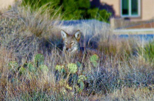 Coyotes 11-9-2020 Kodak PixPro AZ421 42Xis wide angle. thumbnail