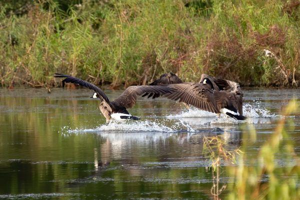 Canada Geese 1 thumbnail