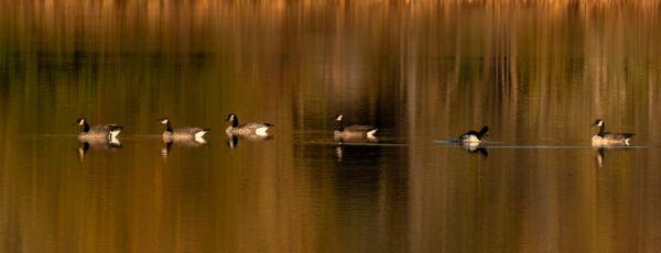 Canadian Geese on Lake thumbnail