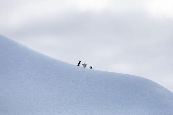 3 Antarctic Stooges thumbnail