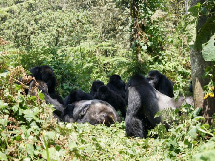 Gorillas Appear to Grieve for Their Dead