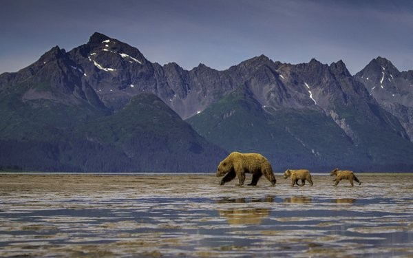 Alaskan Coastal Brown Bear Mother Leading Her New Cubs to Clamming Spot thumbnail