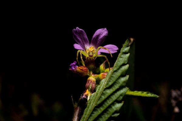 Crab Spider on Flower thumbnail