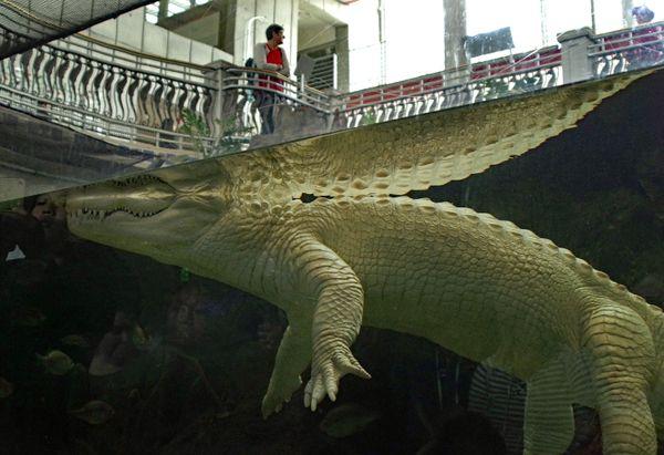 Albino alligator Laying in wait thumbnail