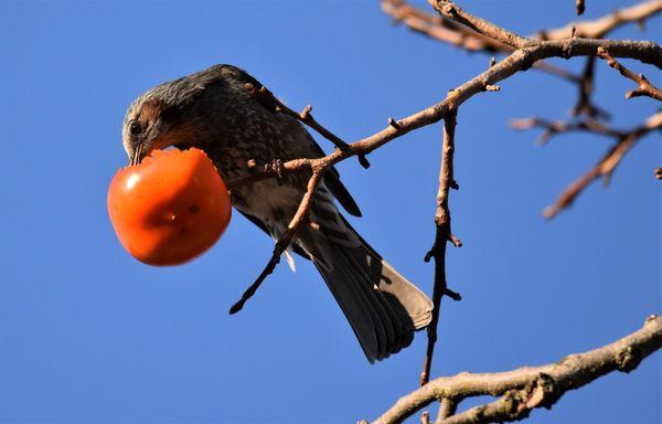 Bulbul Sampling Persimmons thumbnail