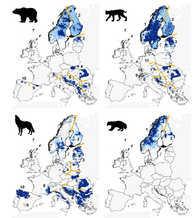 The distribution of Europe's four large carnivores, as of 2011. Dark blue represents permanent populations, light blue indicates places where there are regular sightings. Numbers refer to major populations of those animals. Photo: Chapron et al., Science