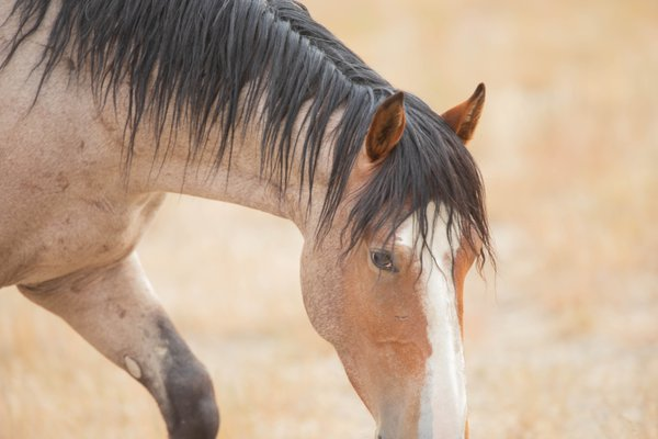 Wild Mustang walking through the heat of the summer desert thumbnail