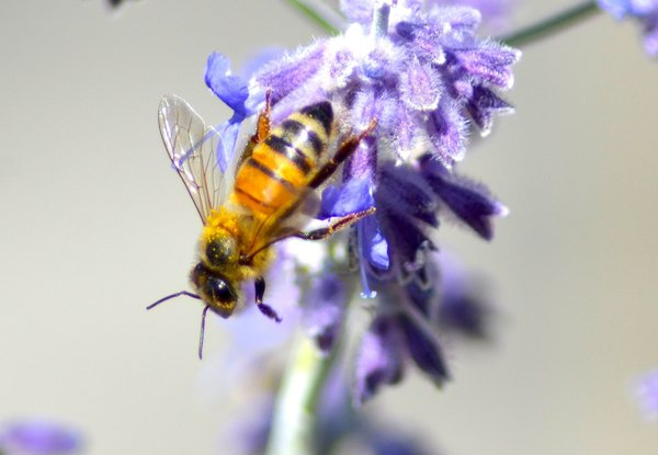 The Lavender Bee thumbnail