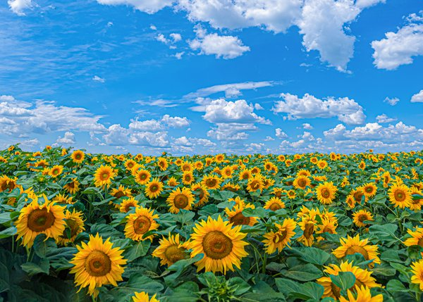 Sunflowers and blue sky thumbnail