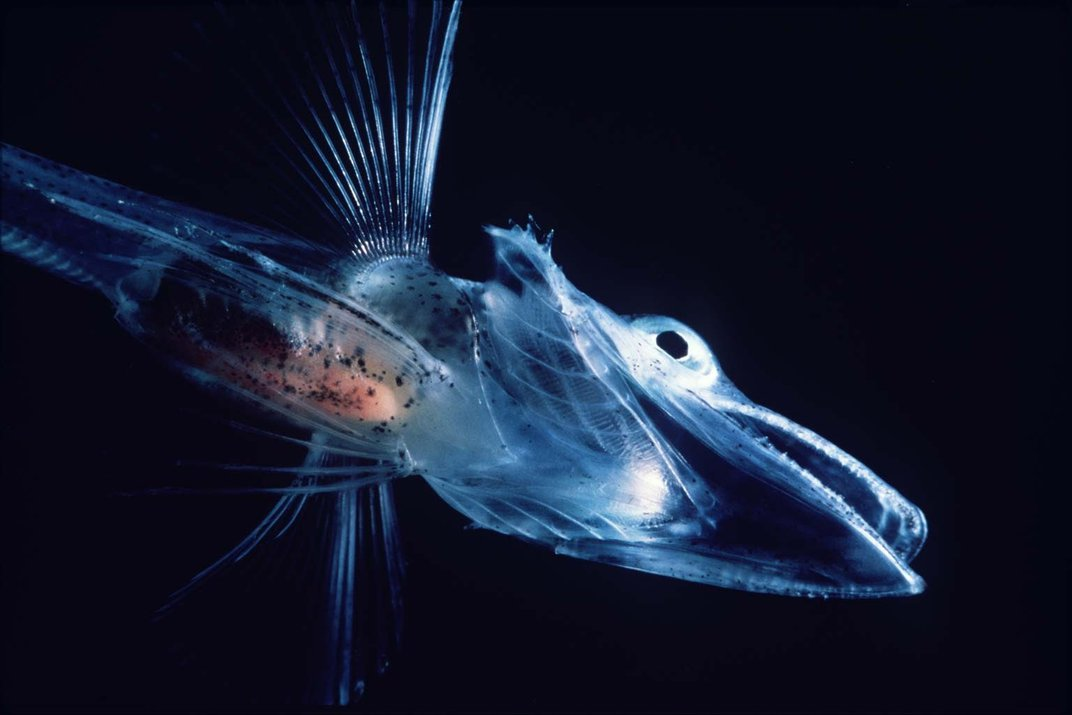 A blue fish on a black background.