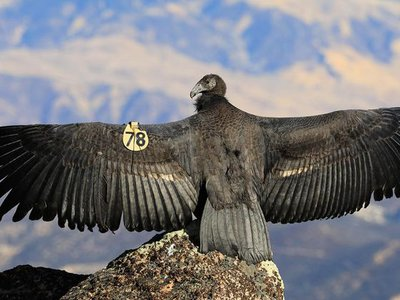 Scientists use a California condor specimen from 1835 — part of the Smithsonian's very first collection of items — to study the critically endangered species. Pictured: a young California condor in Grand Canyon National Park.