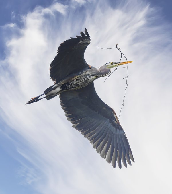 Great Blue Heron Carrying a Twig to the Nest thumbnail