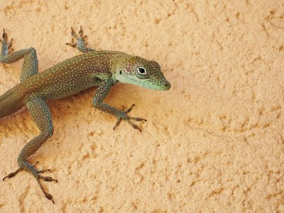 The vast diversity of anole lizards found throughout the Americas helps scientists understand what factors drive the evolution of life. (goatling, CC BY 2.0)