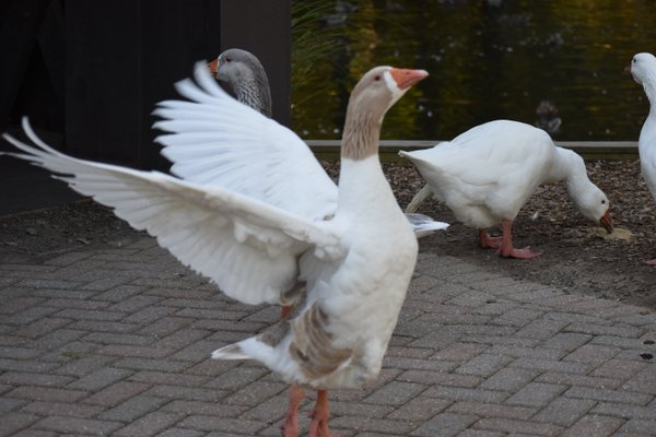 Goose flapping it's wings thumbnail