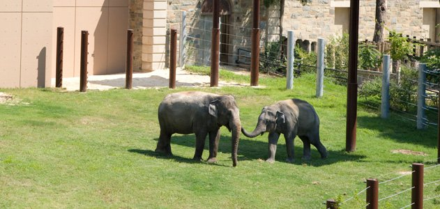 Elephants at the National Zoo