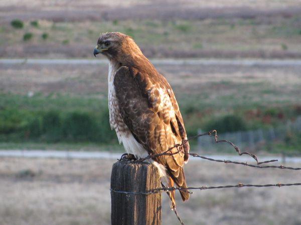 Hawk on a post thumbnail