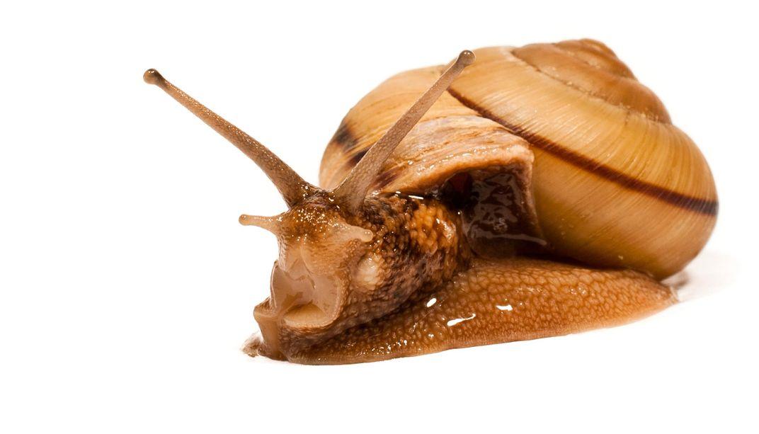 Snail Shells Add a New Twist to the Mystery of Animal Asymmetries