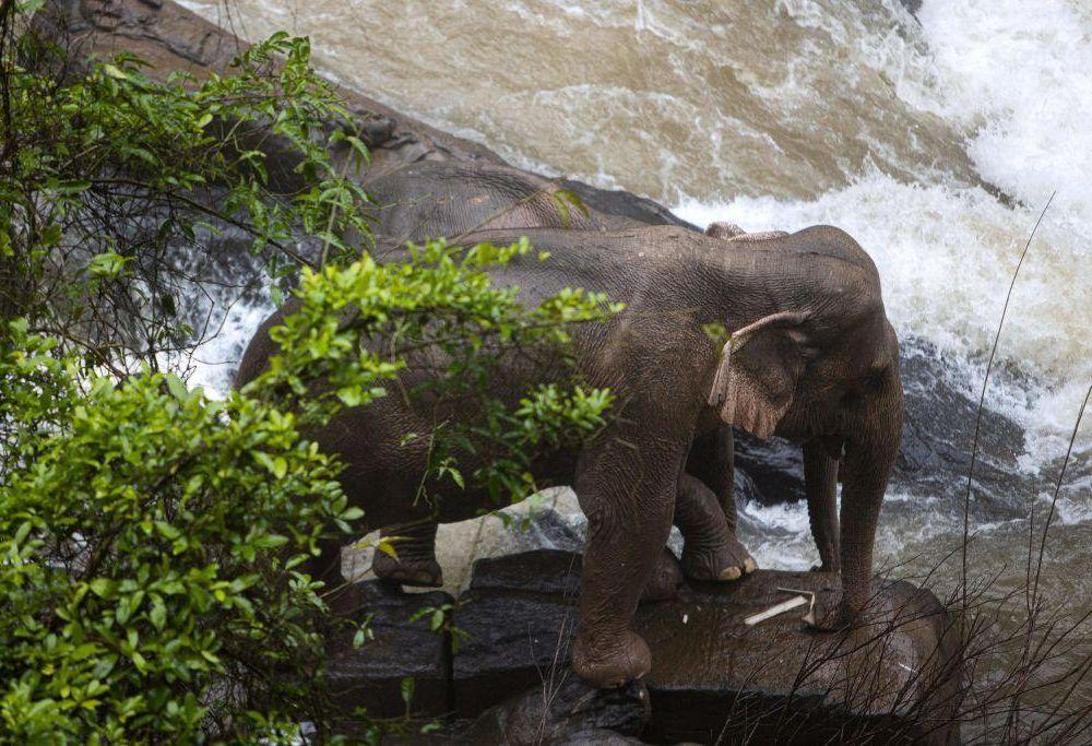 two surviving thai elephants.jpg