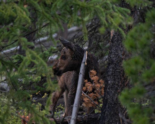Moose Calf In The Rain thumbnail