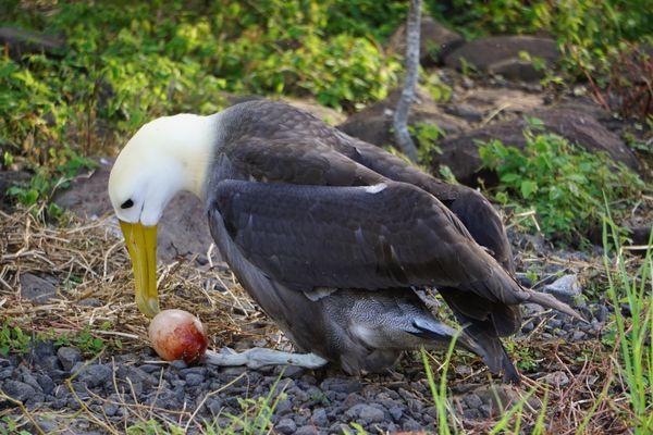 Galapagos Albatross that just laid an egg thumbnail