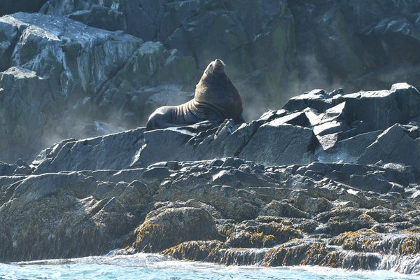 Solitary sea lion in Kamchatka thumbnail