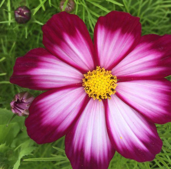 Daisy in bloom thumbnail