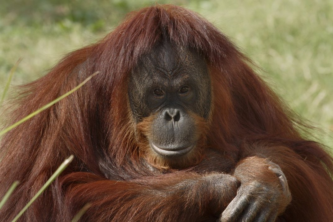 Great Apes like this orangutan may be susceptible to COVID-19. COVID-19 is an abbreviation—CO stands for corona, VI for virus, D for disease, and 19 for the year.