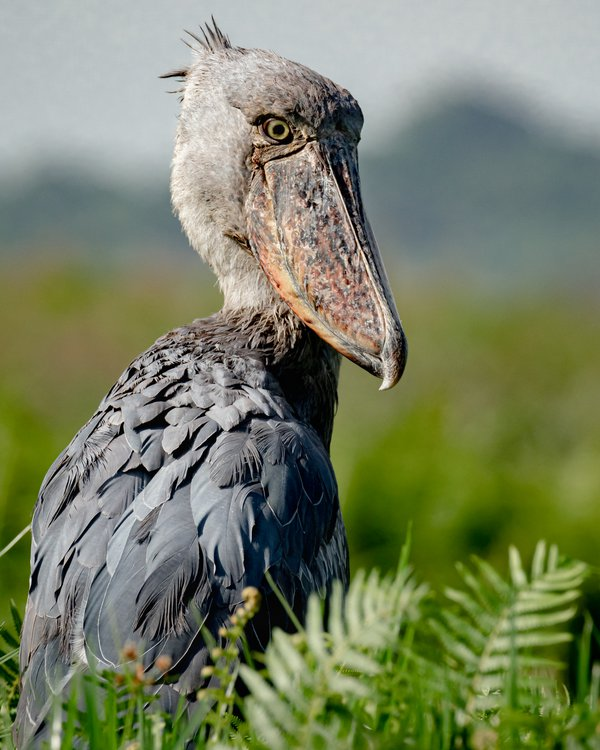 Observant Shoebill Stork on a papyrus marsh in Lake Victoria thumbnail