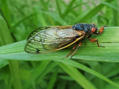 A 17-year Brood X cicada.
