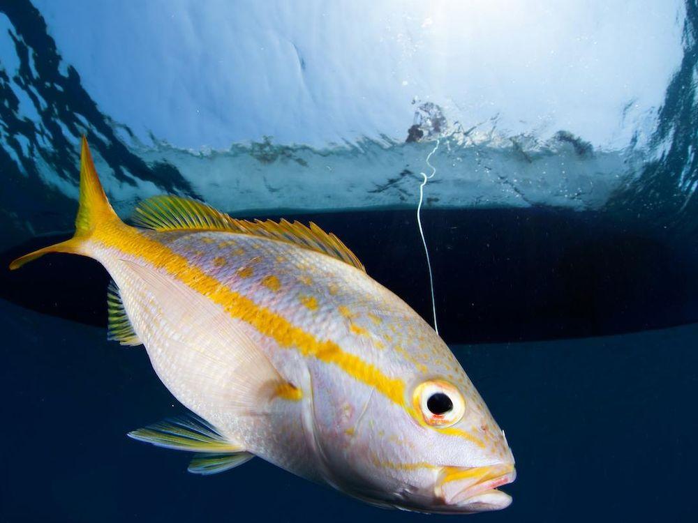 Steven Canty - Caught yellowtail snapper.jpg