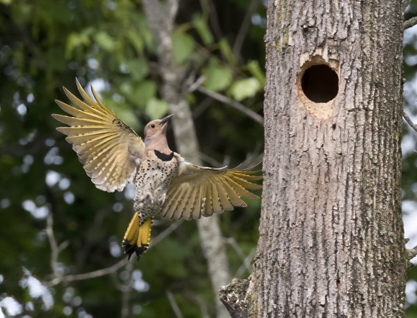 yellow-shafted northern flicker comes home thumbnail