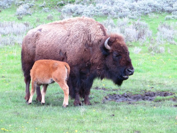 Yellowstone Bison Mom and Baby thumbnail