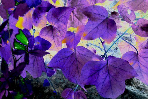 A fantasy mauve shrub thumbnail