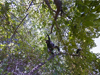 """Google's newest Street View collection takes users to Gombe Stream National Park, where Jane Goodall pioneered her chimpanzee behavioral research. """"Don't forget to look up,"""" a Google project manager says."""