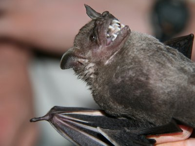 Barro Colorado Island, on the Panama Canal, is home to at least 74 bat species. A group of German researchers is studying them all to understand the spread of diseases.