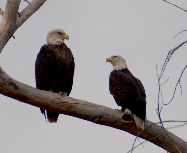 Married eagles thumbnail