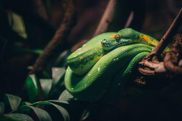 Green Tree Python thumbnail