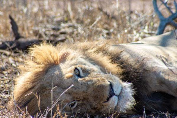 Resting Lion thumbnail