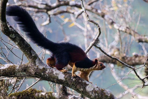 Malabar Giant Squirrel thumbnail