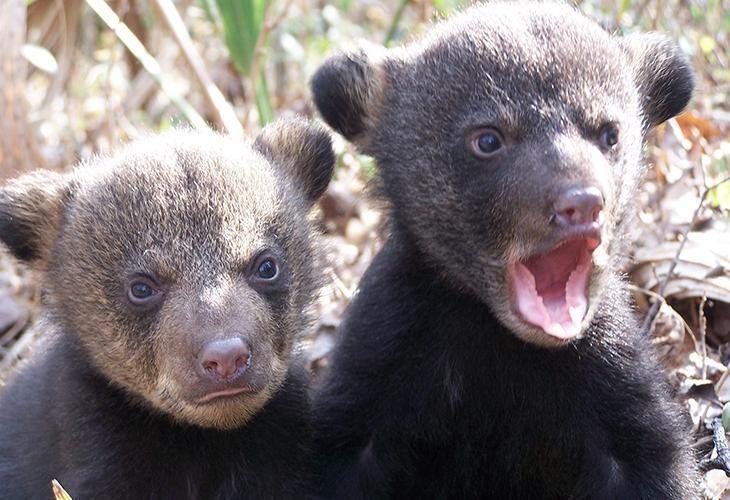Louisiana's Bears Are Making a Comeback