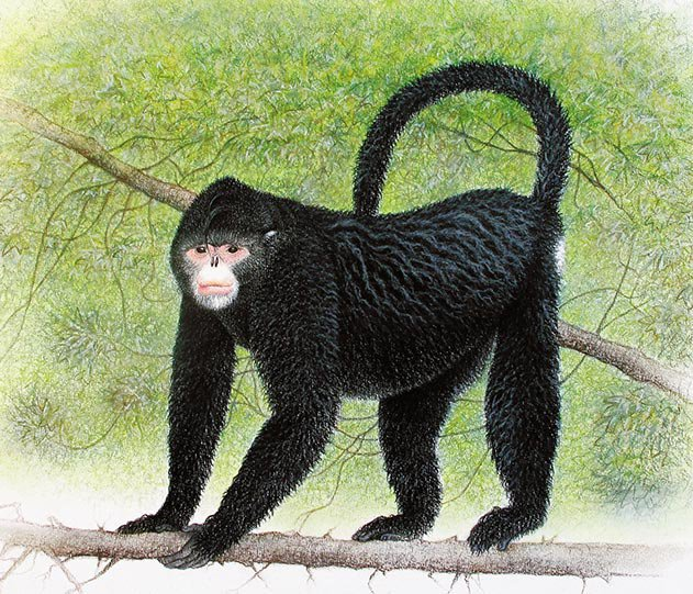 Burmese snub-nosed monkey