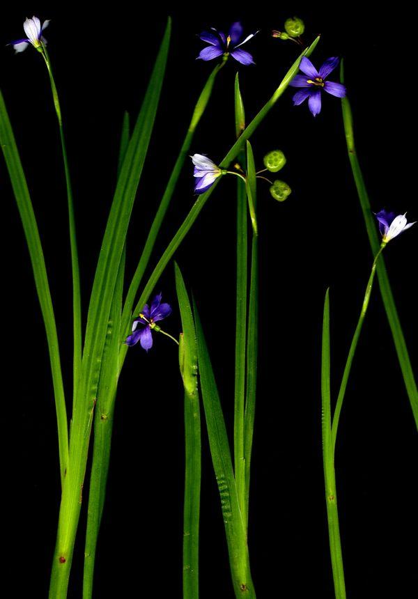 Blue-eyed grass grows wild on North Carolina lawns thumbnail
