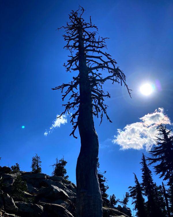 High Sierra Tree thumbnail