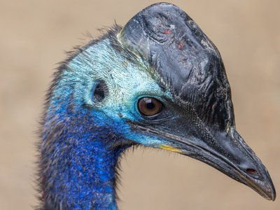 The cassowary's helmet-like casque is made of keratin, the same material that makes up our hair and fingernails.
