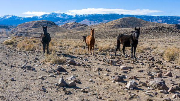 Wild Horses of the Virginia Range thumbnail